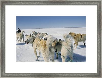 A Pack Of Sleigh Dogs Pull Sleds Framed Print by Sisse Brimberg