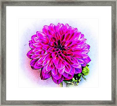A Painted Dahlia Framed Print by Clare Bevan