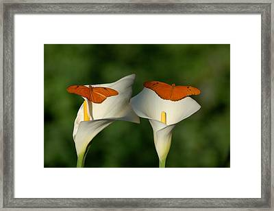 A Pair Of Butterflies Land Upon A Pair Of Lilies Framed Print by Susan Heller