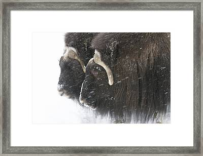 A Pair Of Captive Muskox Cows Stand Framed Print by Doug Lindstrand