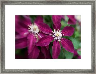 A Pair Of Clematis Flowers Framed Print by Sandy Belk