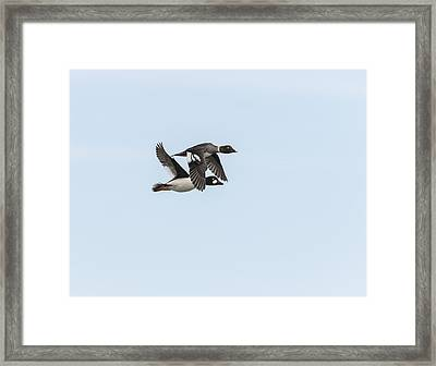 A Pair Of Golden Eye Ducks In Flight Framed Print by Thomas Young
