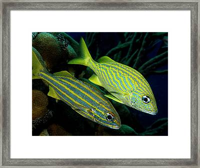 A Pair Of Grunts Framed Print by Jean Noren