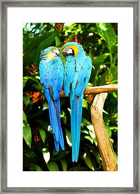 A Pair Of Parrots Framed Print by Marilyn Hunt