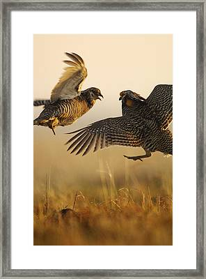 A Pair Of Prairie Chickens Face Framed Print