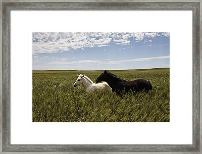A Pair Of Protected Wild Horse Foals Framed Print