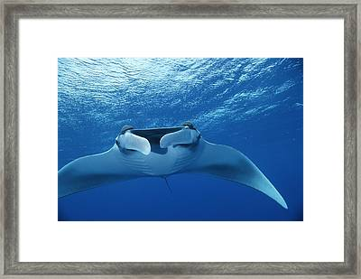 A Pair Of Remoras Hitch A Ride Framed Print by Brian J. Skerry