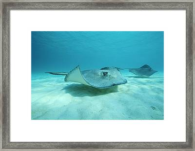 A Pair Of Southern Stingrays Swim Framed Print by Raul Touzon