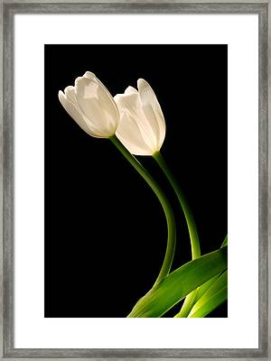 A Pair Of White Tulips Framed Print by Dung Ma