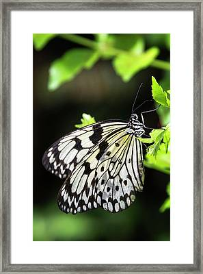 Framed Print featuring the photograph A Paper Kite Butterfly On A Leaf  by Saija Lehtonen
