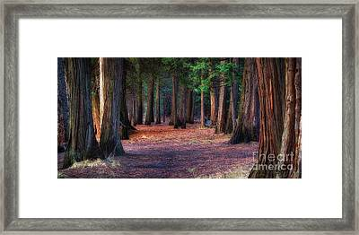 A Path Of Redwoods Framed Print