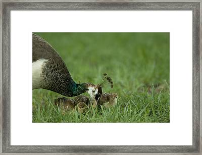 A Peahen And Her Chicks Framed Print by Joel Sartore