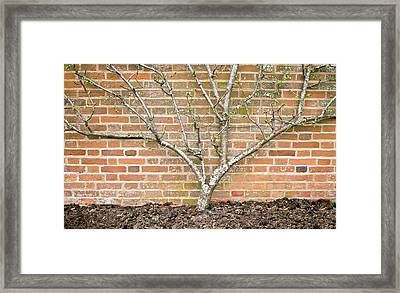 A Pear Tree Framed Print