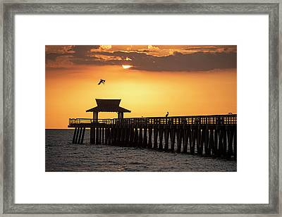 A Pelican Dive-bomb At The Naples Pier Naples Fl Framed Print
