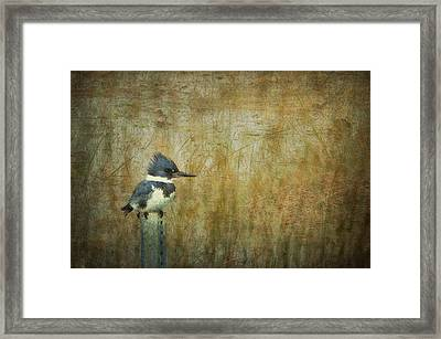 A Perched Belted Kingfisher Framed Print