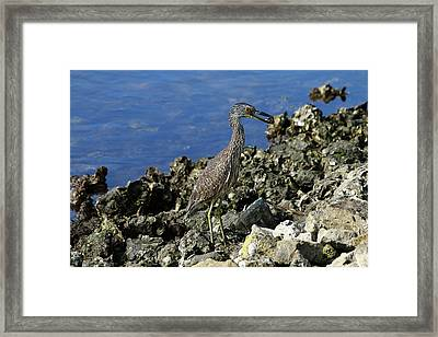 A Perfect Shrimp Fisher Framed Print by Christiane Schulze Art And Photography