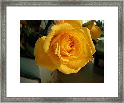 A Perfect Yellow Rose Framed Print
