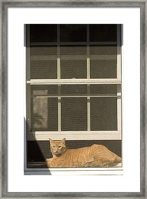 A Pet Cat Resting In A Screened Window Framed Print