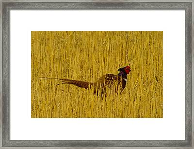 A Pheasant Looking For A Mate Framed Print