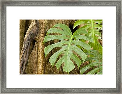 A Philodendron Grows On The Side Framed Print by Tim Laman