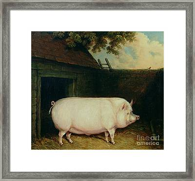 A Pig In Its Sty Framed Print by E M Fox