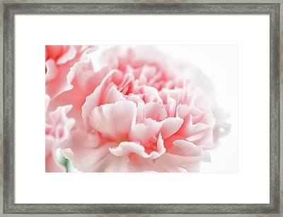 A Pink Carnation Framed Print