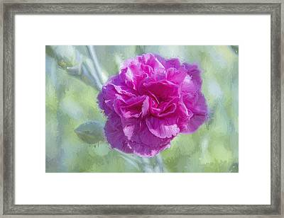 A Pink Carnation Framed Print