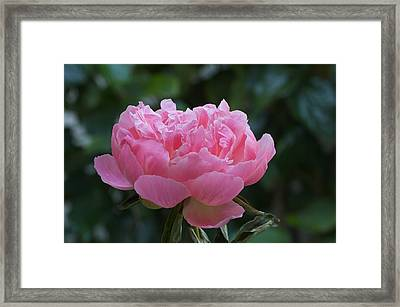 A Pink Peony Framed Print by Susan Heller