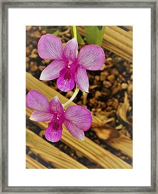 A Pink Pleasure Orchid Framed Print by Victoria Beasley