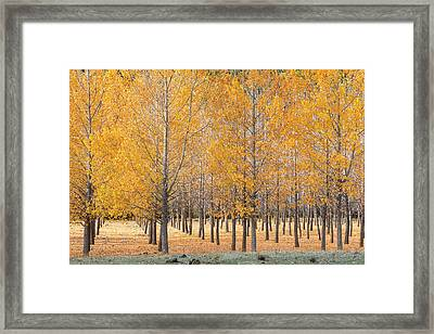 A Plantation Of Black Poplar Trees, In The Serrania De Cuenca, Spain. Framed Print by Peter Eastland