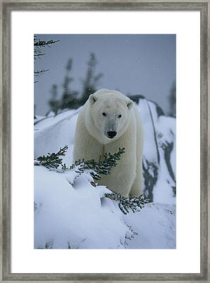 A Polar Bear In A Snowy, Twilit Framed Print by Norbert Rosing