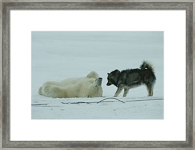 A Polar Bear Lolls On His Back While Framed Print by Norbert Rosing