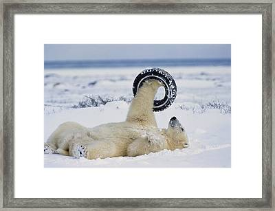 A Polar Bear Plays With Framed Print by Norbert Rosing