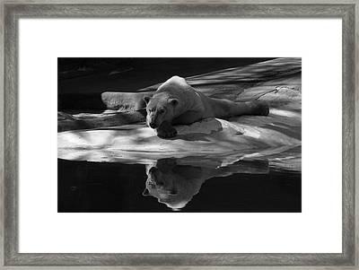 A Polar Bear Reflects Framed Print by Karol Livote