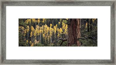 A Ponderosa Pine Tree Among Aspen Trees Framed Print by Bill Hatcher