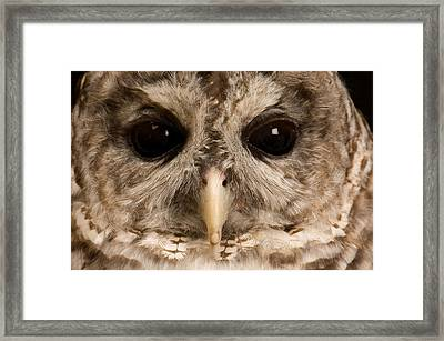 A Portrait Of A Barred Owl Strix Varia Framed Print by Joel Sartore