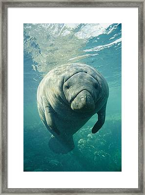 A Portrait Of A Florida Manatee Framed Print