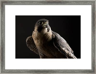 A Portrait Of A Peregrine Falcon Falco Framed Print