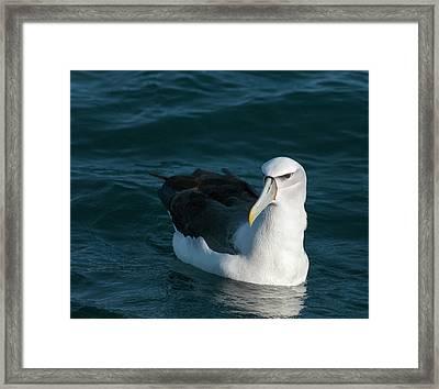 A Portrait Of An Albatross Framed Print