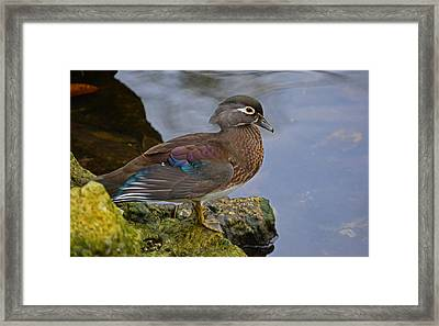 A Pretty Female Painted Wood Duck Framed Print