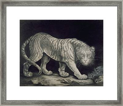 A Prowling Tiger Framed Print by Elizabeth Pringle