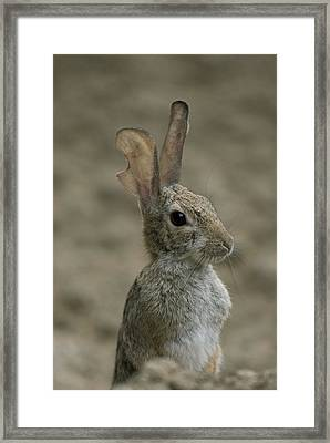 A Rabbit From The Omaha Zoo Framed Print by Joel Sartore