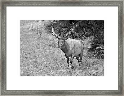 A Rack Of Antlers - Roosevelt Elk - Olympic National Park Wa Framed Print by Christine Till