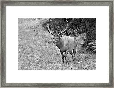 A Rack Of Antlers - Roosevelt Elk - Olympic National Park Wa Framed Print by Christine Till