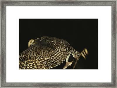 A Rare Blakistons Fish Owl In Flight Framed Print by Tim Laman