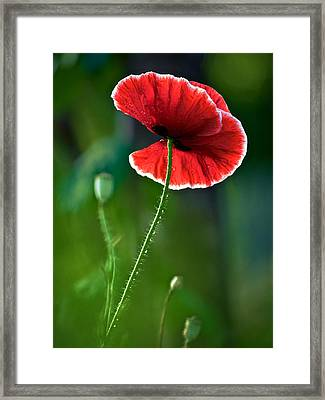 A Red And White Poppy Flower Framed Print by Rachel Morrison
