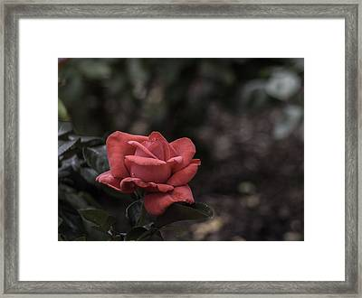 A Red Beauty Framed Print
