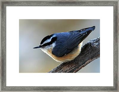 A Red-breasted Nuthatch Framed Print