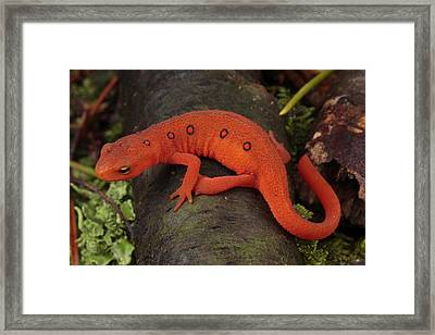 A Red Eft Crawls On The Forest Floor Framed Print by George Grall