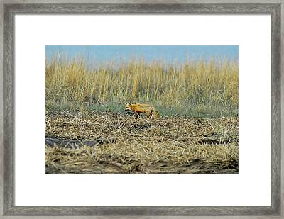 A Red Fox Hunting Framed Print